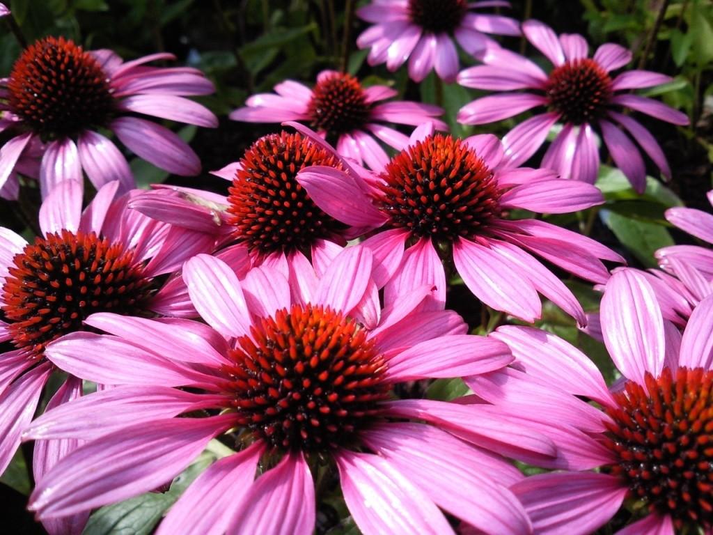 Фото цветы эхинацеи пурпурной