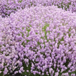 Lavandula angustifolia Rosea