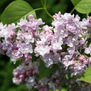 Syringa vulgaris «Katherine Havemeyer